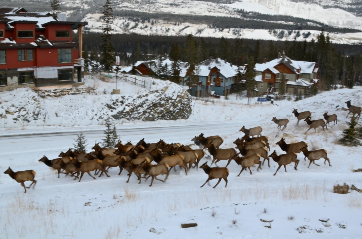 Local Elk on the Move!