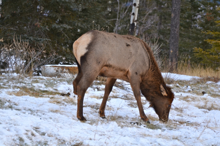 The 3 legged Elk