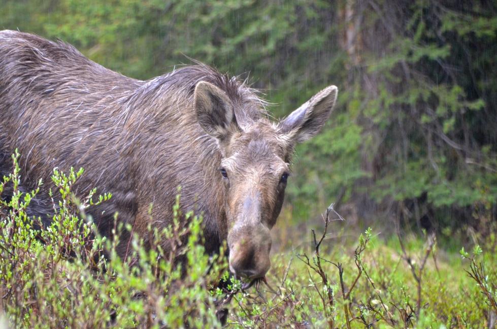 Ma Moose