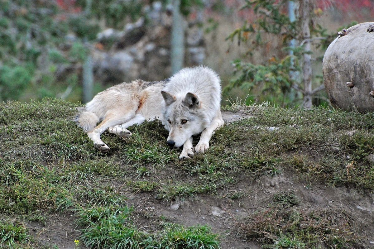 Female Grey Wolf