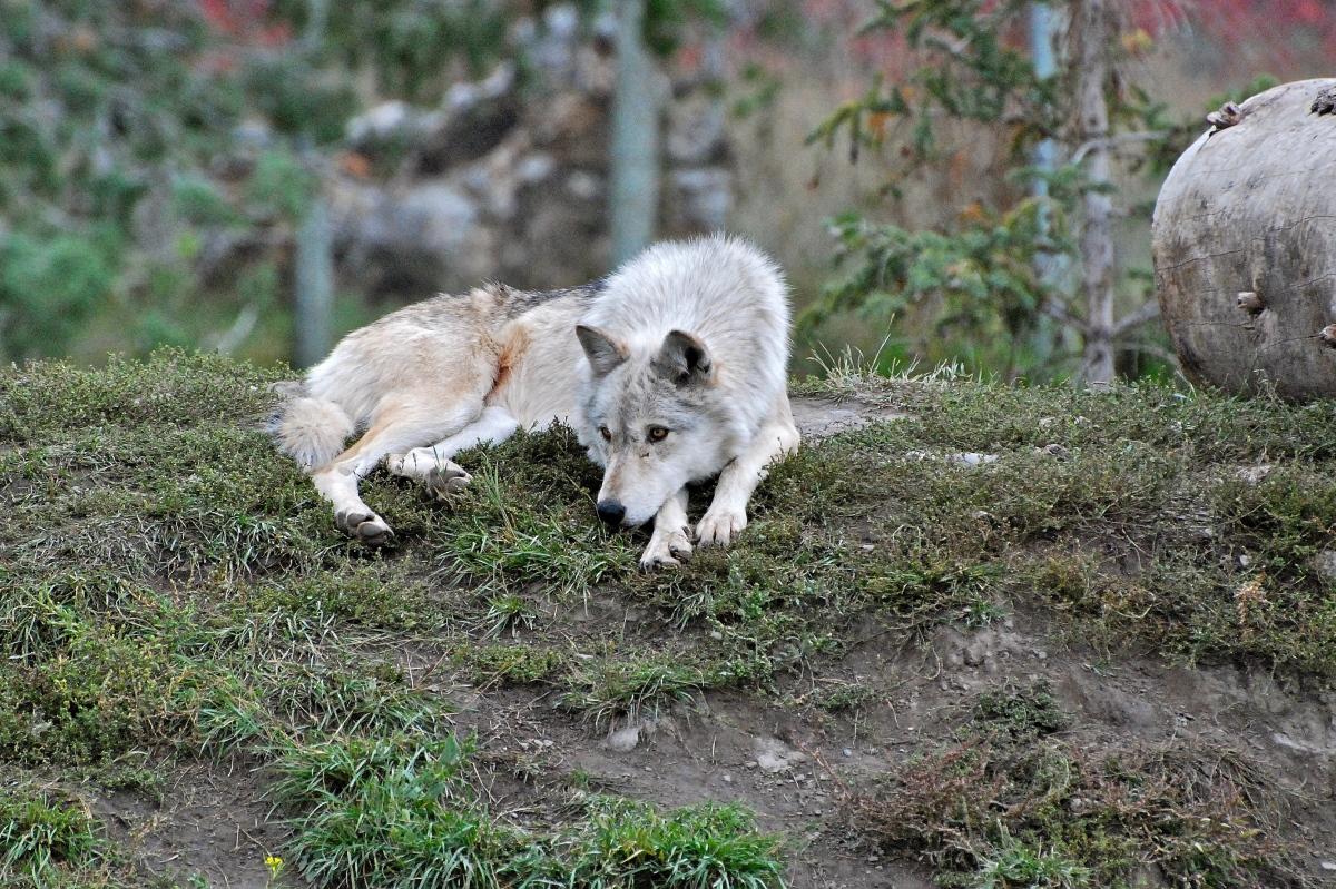 Female Grey Wolf