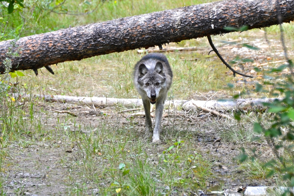 Female Grey Wolf - Maya