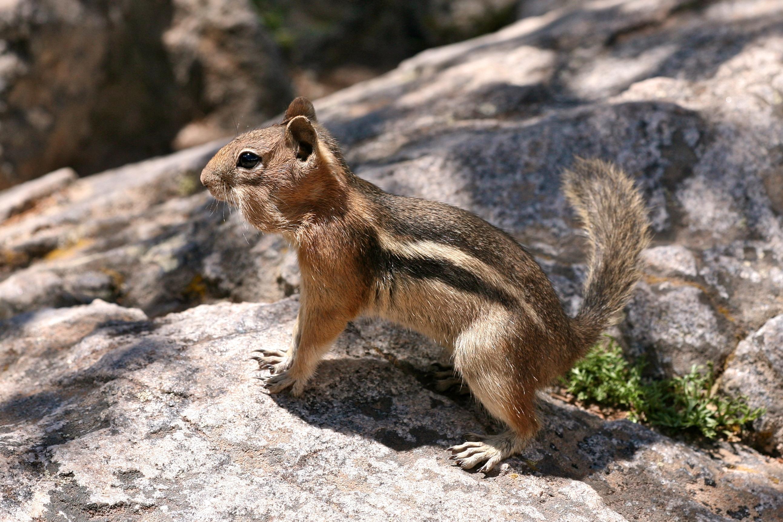 how to catch ground squirrels