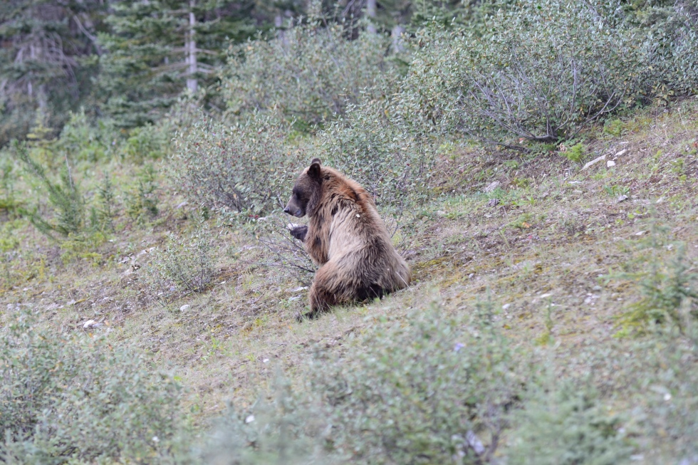 Grizzly sitting to eat