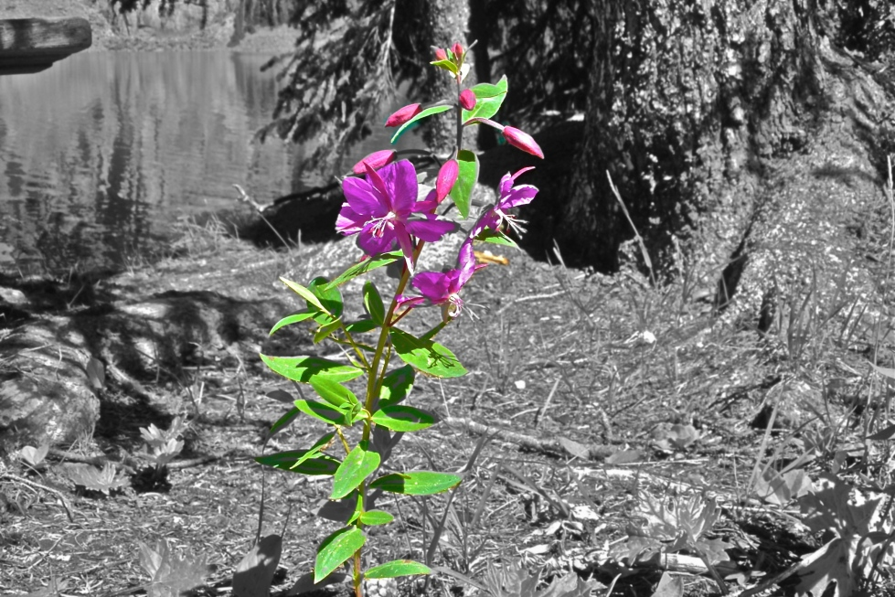 Broad Leaved Fireweed at Lake O'Hara